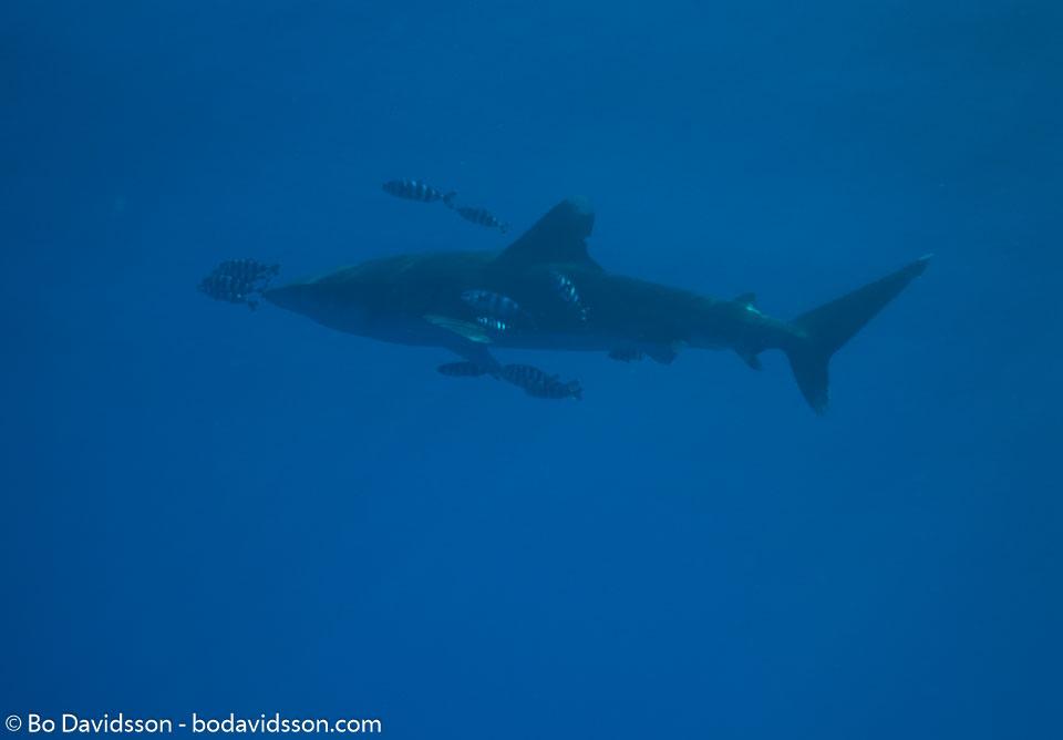 BD-090406-St-Johns-4062752-Carcharhinus-longimanus.-(Poey.-1861)-[Oceanic-whitetip-shark.-Vitspetsig-oceanhaj].jpg